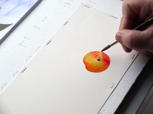 Aquarelle abricot garance brune etape2